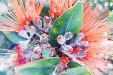オヒアの花レフア