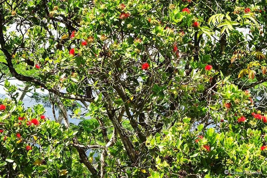 オヒアの木に咲く赤いレフアの花