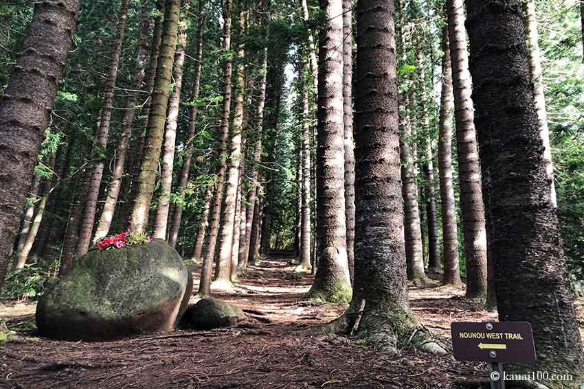 ノウノウ山の杉林