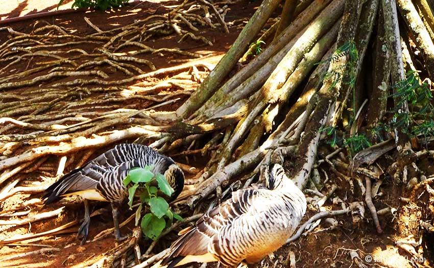 カウアイ島のキラウエア・ナショナル・ワイルドライフ・レフュージの野鳥